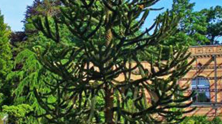 araucaria araucana un arbre que vous pouvez planter dans votre jardin. Black Bedroom Furniture Sets. Home Design Ideas